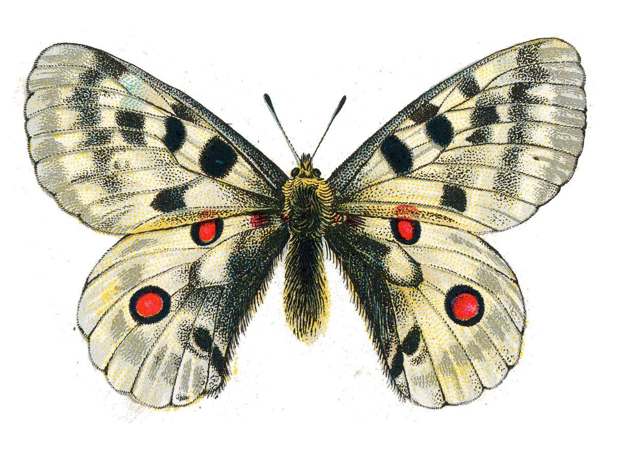 Аполлон комаха Вікіпедія