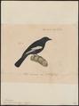 Parus leucomelas - 1835 - Print - Iconographia Zoologica - Special Collections University of Amsterdam - UBA01 IZ16100163.tif