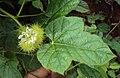 Passiflora foetida 27.JPG