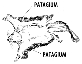 Patagium - Patagia on a flying squirrel