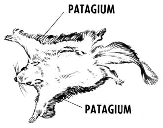 Gliding flight - Patagium on a flying squirrel