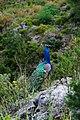 Peacock on Agistri island.jpg