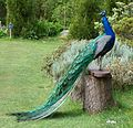 Peacock pose 2 - Flickr - S. Rae.jpg