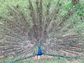 Peacock spreading its tail at the park.jpg