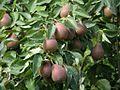 Pears (4223665477).jpg