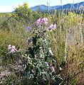 Pelargonium cordifolium.jpg