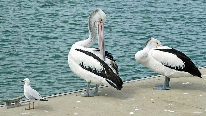 Pelicans - Hervey Bay.jpg