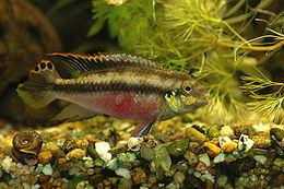 Pelvicachromis pulcher (male)