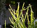 Pencil cactus - Flickr - debaird™.jpg