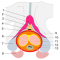 Penetration of the penis into the vagina.png