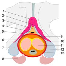 Totul despre penis – Ce este penisul și cum funcționează? Anatomia penisului