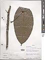 Penianthus longifolius-NMNH-03579371.jpg
