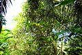 Pepohonan di semak belukar (15).JPG
