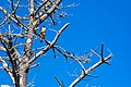 Peregrine Falcon (22848968454).jpg