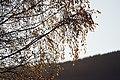 PermaLiv Høstbjørk med høstfarger i Totenvika 29-10-20 1.jpg