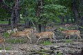 Persian Fallow Deers in Dasht-e Naz Wildlife Refuge 2020-06-02 19.jpg