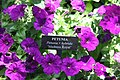 Petunia Madness Royal 0zz.jpg