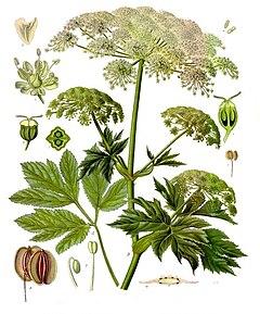 Peucedanum ostruthium köhler s medizinal pflanzen 236