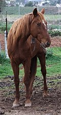 Pferd auf Koppel in Mallorca.jpg