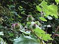 Pflanze Blütenstand IMG 1696.JPG