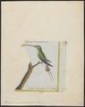Phaëtornis superciliosus - 1700-1880 - Print - Iconographia Zoologica - Special Collections University of Amsterdam - UBA01 IZ19100003.tif