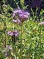 Phacelia tanacetifolia 102050083.jpg