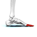 Phalanges of left foot03a medial view.png