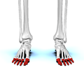 Phalanges of the foot01a anterior view.png