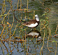 Pheasant-tailed Jacana (Hydrophasianus chirurgus)- Breeding in Hyderabad, AP W IMG 7612.jpg