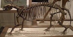 Phenacodus - P. primaevus skeleton