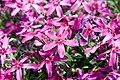 Phlox subulata Atropurpurea 0zz.jpg