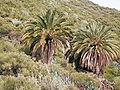 Canarische dadelpalm (Puntallana) 01.jpg