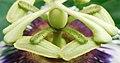 Pièces florales de Passiflora edulis 05.jpg