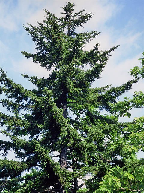 Picea glehnii2