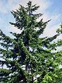 Picea glehnii2.JPG