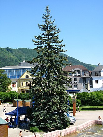 Blue spruce - Image: Picea pungens Žilina