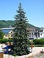 Picea pungens Žilina.JPG