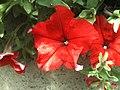 Pichilemu - Jardines de Pichilemu (2195590318).jpg