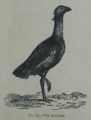 Picture Natural History - No 167 - The Bustard.png
