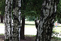 Picus viridis sofia 1.jpg