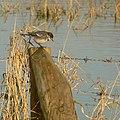 Pied Wagtail - Motacilla alba - geograph.org.uk - 1205160.jpg