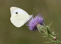 Pieris brassicae - Large Cabbage White - 02.jpg
