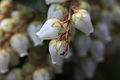 Pieris japonica (3317961528).jpg