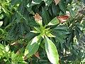 Pieris japonica Historyland Supreme 1zz.jpg