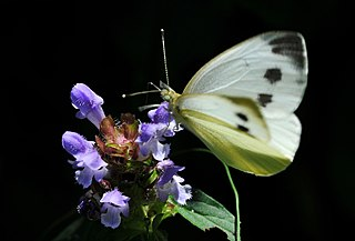 <i>Pieris</i> (butterfly) Butterfly genus in family Pieridae