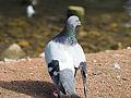 Pigeon (14357469566).jpg