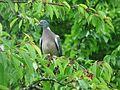 Pigeon ramier sur cerisier (1).JPG