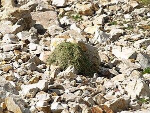 Pika - Vegetation pile, drying on rocks for subsequent storage. Gad Valley, Snowbird Ski Resort, Little Cottonwood Canyon, Utah