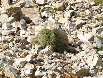 Pika - Vegetation pile, drying on rocks for subsequent storage. Gad Valley, Snowbird Ski Resort, Little Cottonwood Canyon, Utah