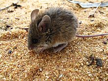 Pilliga Forest- Threatened Pilliga Mouse.jpg